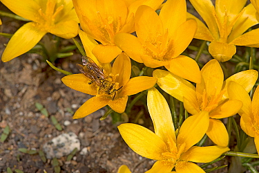 Solitary bee (Apoidea) feeding on Crocus (Crocus korolkowii), covered in pollen. Ansob Pass, Tajikistan. April.