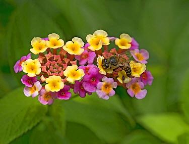 Honey bee (Apis mellifera) nectaring on freshly opened yellow Lantana (Lantana camara) flowers. Flowers turn pink when nectar no longer provided. In garden, Tanzania. Native to tropical Americas.