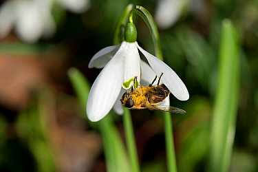 Drone fly (Eristalis tenax) nectaring on Snowdrop (Galanthus nivalis), pollen on body. Surrey, England, UK. February.