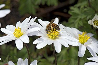 Honey bee (Apis mellifera) with full pollen baskets feeding on Balkan anemone (Anemone blanda). In garden. Surrey, England, UK. April.