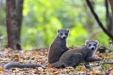 Crowned lemur (Eulemur coronatus), females on ground in forest feeding, Ankarana NP, Madagascar