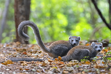 Crowned lemur (Eulemur coronatus) two females on ground in forest, Ankarana NP, Madgascar
