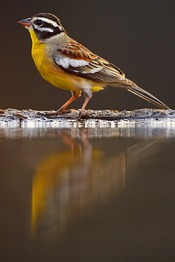 Golden-breated Bunting, (Emberiza flaviventris) next to water, Zimanga Private Nature Reserve, KwaZulu Natal, South Africa