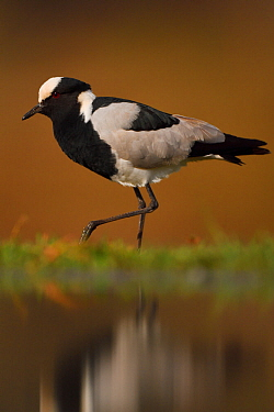 Blacksmith Plover, (Vanellus armatus) by water, Zimanga Private Nature Reserve, KwaZulu Natal, South Africa