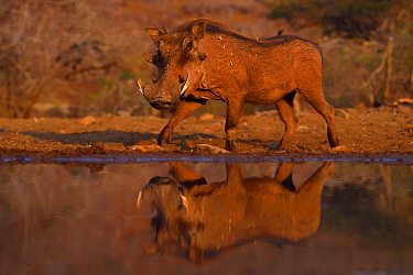 Common Warthog (Phacochoerus africanus) reflected in water hole, Zimanga Private Nature Reserve, KwaZulu Natal, South Africa