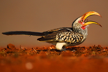 Southern Yellow-billed Hornbill, (Tockus leucomelas), eating fly larvae at a carrion site, Zimanga Private Nature Reserve, KwaZulu Natal, South Africa