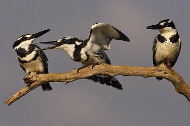 Pied kingfisher (Ceryle rudis) group of three perched on branch, squabbling, Zimanga Private Nature Reserve, KwaZulu Natal, South Africa