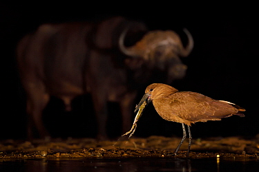 Hammerkop / Hammerhead stork (Scopus umbretta) eating a toad, with an African buffalo / Cape buffalo (Syncerus caffer) in the background at night, Zimanga Private Nature Reserve, KwaZulu Natal, South...