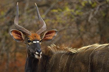 Nyala (Tragelaphus angasii), Zimanga Private Nature Reserve, KwaZulu Natal, South Africa