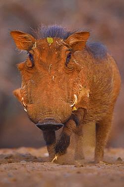 Common Warthog (Phacochoerus africanus) portrait, Zimanga Private Nature Reserve, KwaZulu Natal, South Africa