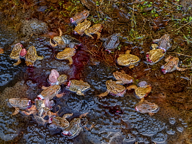 Dying Common frogs (Rana temporaria) with their legs removed for food, left to die in their breeding pool surrounded by frogspawn. Covasna, Romania. Highly commended in the Wildlife Photojournalism Ca...