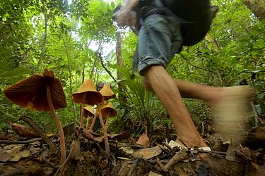 Porter from Haramunting Village carrying expedition gear into Batang Toru Forest, walking past large fungi. Batang Toru Forest Sumatran Orangutan Conservation Project, North Sumatran Province,  Indon...
