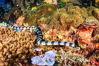 Yellow-lipped sea krait (Laticauda colubrina) hunting over coral reef off Alor, Indonesia.