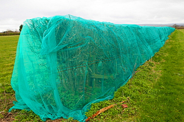 Hedge which has been 'netted ' to prevent breeding birds nesting, which would delay building development of new homes. Chester, Cheshire, England, UK. March 2019.