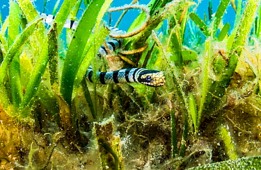 A Banded sea krait (Laticauda colubrina) searches a seagrass bed for food, off North Sulawesi, Indonesia.