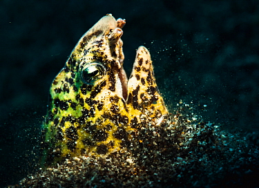 Marbled snake eel (Callechelys marmorata) burries herself in the sandy seabed off North Sulawesi, Indonesia.