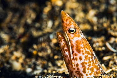 Sharpsnout snake eel (Apterichtus klazingai) peering out from the seabed, off North Sulawesi, Indonesia.
