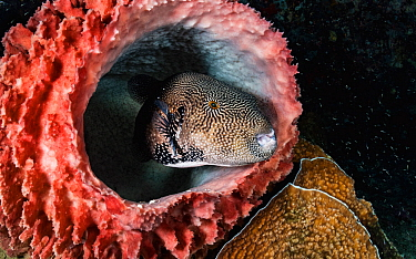 Map puffer fish (Arothron mappa) hiding inside a barrel sponge, off Flores, Indonesia.