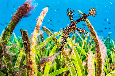 Ornate ghost pipefish (Solenostomus paradoxus) camouflaged among tall seagrass blades off North Sulawesi, Indonesia.