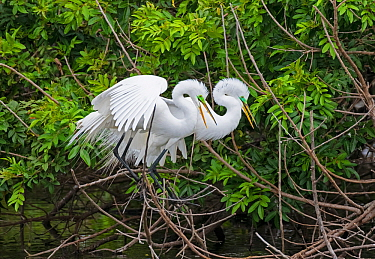 Great egret (Ardea alba) pair in courtship. Venice Area Audubon Rookery, Florida, USA. March.