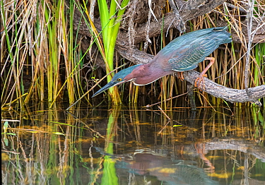 Green heron (Butorides virescens) fishing from branch perch above water. Everglades National Park, Florida, USA. March.