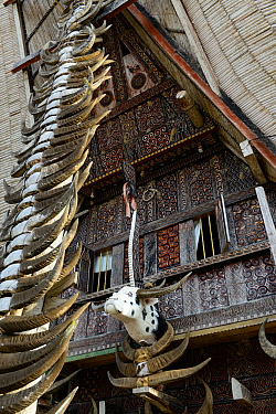 Buffalo antlers decorating traditional house in Tana Toraja. Toraja is an ethnic group in West and South Sulawesi. Indonesia. 2015.