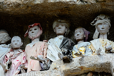 Tau tau, effigies of the dead carved in wood at Tana Toraja cemetery. Toraja is an ethnic group in West and South Sulawesi. The culture revolves around death with funeral ceremonies an important part...