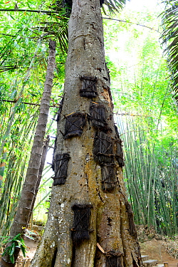 Funeral tree for deceased babies, Tana Toraja. Toraja is an ethnic group in West and South Sulawesi. The culture revolves around death with funeral ceremonies an important part of daily life. Indonesi...