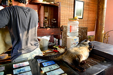 Coffee shop with Asian palm civet (Paradoxurus hermaphroditus) on counter. Many civets are drugged to sleep quietly and not escape. Coffee beans are fed to civets, ferment in the gut, excreted and use...