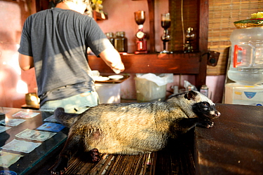 Asian palm civet (Paradoxurus hermaphroditus) lying down on coffee shop counter. Many civets are drugged to sleep quietly and not escape. Coffee beans are fed to civets, ferment in the gut, excreted a...