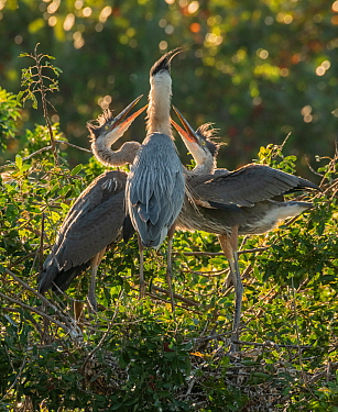 Great blue heron (Ardea herodias) adult feeding two chicks, close to fledging. Venice Area Audubon Rookery, Florida, USA. March.