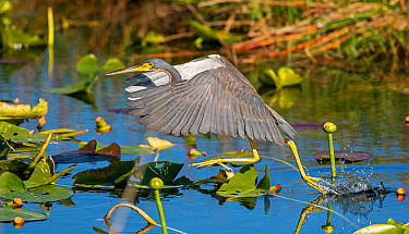 Tricolored heron (Egretta tricolor) fishing by flying low over water. Everglades National Park, Florida, USA. March.