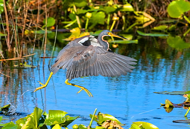 Tricoloured heron (Egretta tricolor) fishing by flying low over water. Everglades National Park, Florida, USA. March.