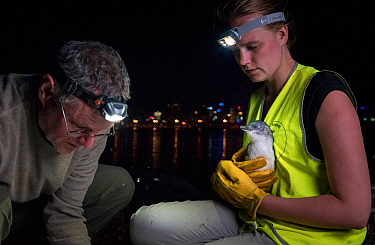 Earthcare St Kilda penguin research volunteers with Little penguin (Eudyptula minor) checking for microchip and determining sex and weight. St Kilda breakwater, Melbourne, Victoria, Australia. Novembe...