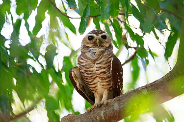 White-browed hawk owl (Ninox superciliaris) perched in tree. Berenty Reserve, Madagascar.