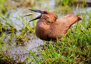Hamerkop (Scopus umbretta) feeding on fish, Chobe National Park, Botswana.