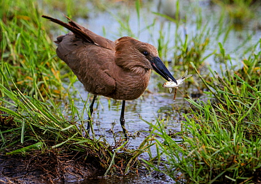 Hamerkop (Scopus umbretta) with fish, Chobe National Park Botswana.