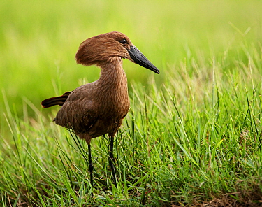 Hamerkop (Scopus umbretta) in grass, Chobe National Park, Botswana.