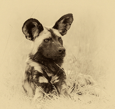 African wild dog (Lycaon pictus) portrait. Chobe National Park Botswana. Digitally enhanced sepia image.