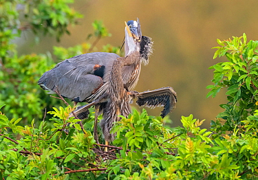 Great blue heron (Ardea herodias), adult feeding chick. Chick close to fledging. Venice Area Audubon Rookery, Florida, USA. March.