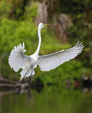 Great egret (Ardea alba) in flight with twig in beak, refurbishing nest. Venice Area Audubon Rookery, Florida, USA. March.