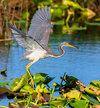 Tricoloured heron (Egretta tricolor) fishing by flying low over water, amongst Water lilies. Everglades National Park, Florida, USA. March.