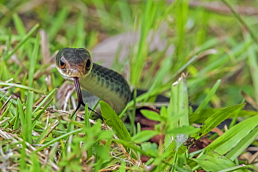 Everglades racer (Coluber constrictor paludicola) with tongue out. Everglades National Park, Florida, USA. March.