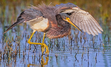 Tricoloured heron (Egretta tricolor) fishing with wings formed into partial umbrella to shade water, making it easier to see prey. At dusk, Myakka River State Park, Florida, USA, March.
