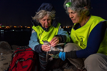 Researchers from Earthcare St Kilda checking Little penguin (Eudyptula minor) chick for ticks and flees. St Kilda breakwater, Melbourne, Victoria, Australia. December, 2016. Model released.