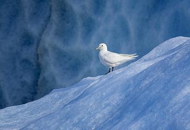 Ivory gull (Pagophila eburnea) Svalbard, Norway, July.