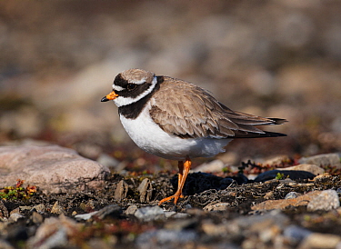 Ringed plover (Charadrius hiaticula) Svalbard, Norway, July