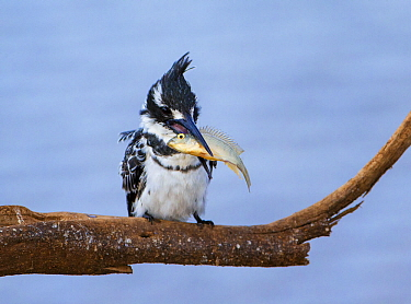Pied kingfisher (Ceryle rudis) with a fish, Kruger National Park, South Africa.