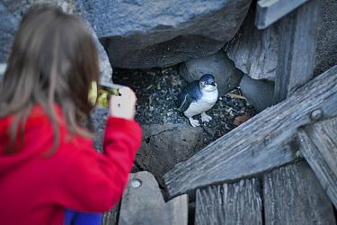 Girl photographing Little penguin (Eudyptula minor), with mobile phone. St Kilda pier, Melbourne, Victoria, Australia. ??September 2016.