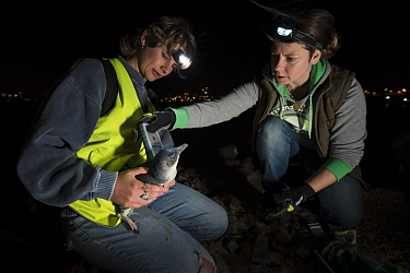 Researchers from Earthcare St Kilda scanning a moulting Little penguin (Eudyptula minor) for microchip. St Kilda breakwater, Melbourne, Victoria, Australia. December 2016. Model released.